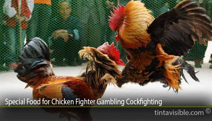Special Food for Chicken Fighter Gambling Cockfighting